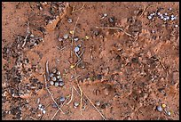 Close-up of Cryptobiotic crust with fallen berries. Arches National Park, Utah, USA. (color)