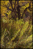Grasses and trees in autumn, Courthouse Wash. Arches National Park, Utah, USA. (color)