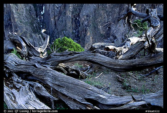 Gnarled trees on North Rim. Black Canyon of the Gunnison National Park (color)