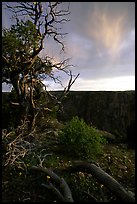 Gnarled trees at sunset, North rim. Black Canyon of the Gunnison National Park ( color)