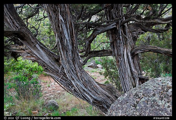 Juniper trees. Black Canyon of the Gunnison National Park (color)