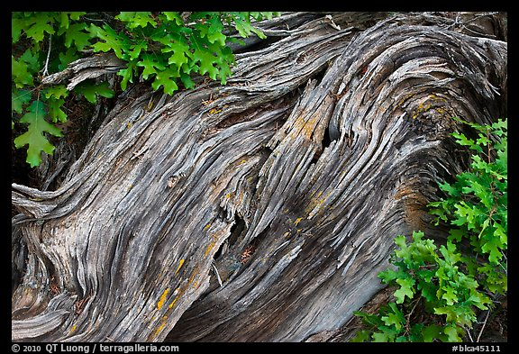 Gnarled root detail. Black Canyon of the Gunnison National Park (color)