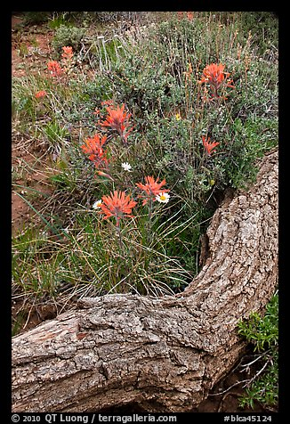 Fallen log and indian paintbrush. Black Canyon of the Gunnison National Park (color)