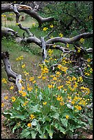 Flowers and fallen branches, High Point. Black Canyon of the Gunnison National Park, Colorado, USA. (color)