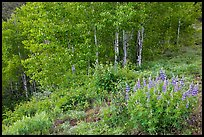 Lupine and aspen trees. Black Canyon of the Gunnison National Park, Colorado, USA. (color)