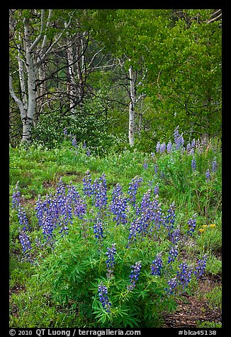 Lupine and aspens in the spring. Black Canyon of the Gunnison National Park (color)