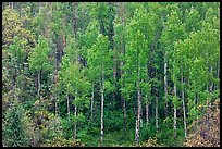 Aspens with spring new leaves. Black Canyon of the Gunnison National Park, Colorado, USA. (color)