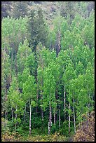 Spring green aspens on hillside. Black Canyon of the Gunnison National Park ( color)