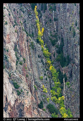 Trees in autumn color in steep gully. Black Canyon of the Gunnison National Park (color)