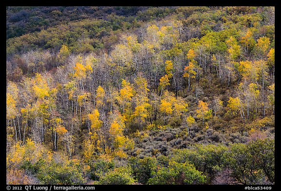Aspen on hills in autumn, East Portal. Black Canyon of the Gunnison National Park (color)