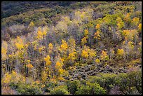 Aspen on hills in autumn, East Portal. Black Canyon of the Gunnison National Park, Colorado, USA.