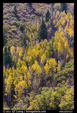 Yellow aspen on steep slope. Black Canyon of the Gunnison National Park (color)