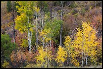 Trees in fall foliage, East Portal. Black Canyon of the Gunnison National Park, Colorado, USA.