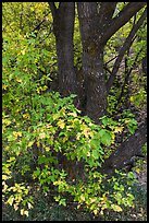 Trunk and leaves in autumn, East Portal. Black Canyon of the Gunnison National Park ( color)