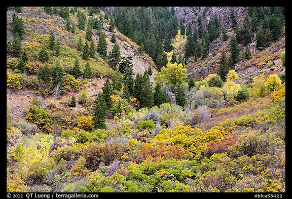 Shrubs in fall foliage and Douglas fir. Black Canyon of the Gunnison National Park (color)