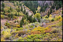 Shrubs in fall foliage and Douglas fir. Black Canyon of the Gunnison National Park ( color)