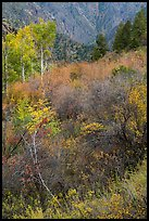 Shrubs and trees in autumn color. Black Canyon of the Gunnison National Park, Colorado, USA. (color)