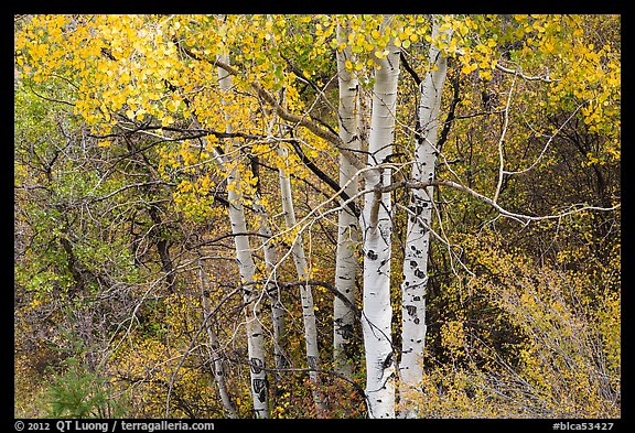 Aspen in autumn. Black Canyon of the Gunnison National Park (color)