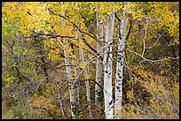 Aspen in autumn. Black Canyon of the Gunnison National Park, Colorado, USA. (color)