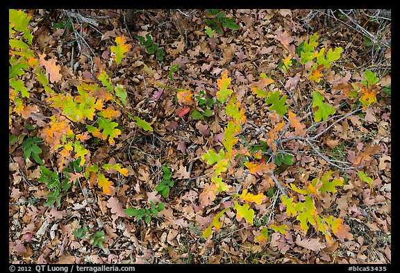 Gambel Oak and ground covered with fallen leaves. Black Canyon of the Gunnison National Park (color)