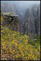 Scrub Oak on south rim in rain. Black Canyon of the Gunnison National Park ( color)