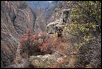 Oak and serviceberries at canyon's edge, Cross Fissures. Black Canyon of the Gunnison National Park ( color)