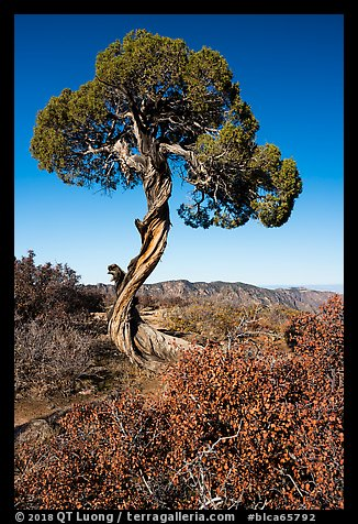 Juniper, Dragon Point. Black Canyon of the Gunnison National Park (color)