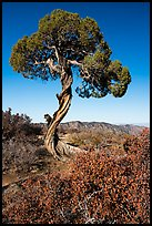 Juniper, Dragon Point. Black Canyon of the Gunnison National Park ( color)