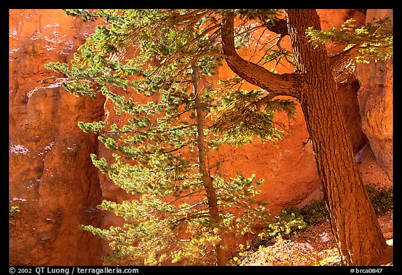 Douglas Fir in Wall Street Gorge, Navajo Trail. Bryce Canyon National Park (color)