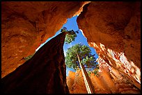 Douglas Fir in Wall Street Gorge, mid-day. Bryce Canyon National Park, Utah, USA.