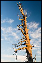 Bristlecone pine tree top. Bryce Canyon National Park ( color)