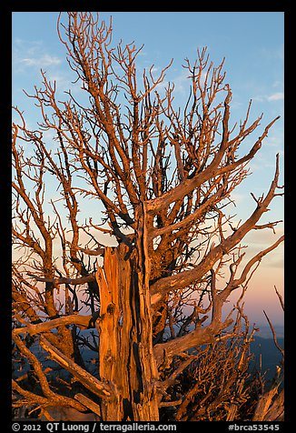 Bristlecone pine tree at sunset. Bryce Canyon National Park (color)