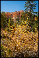 Shurbs in autumn foliage and hoodoos. Bryce Canyon National Park, Utah, USA.