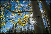 Sunstar through aspens in autumn foliage. Bryce Canyon National Park, Utah, USA.