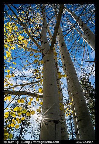 Aspens in autumn foliage and sun. Bryce Canyon National Park, Utah, USA.