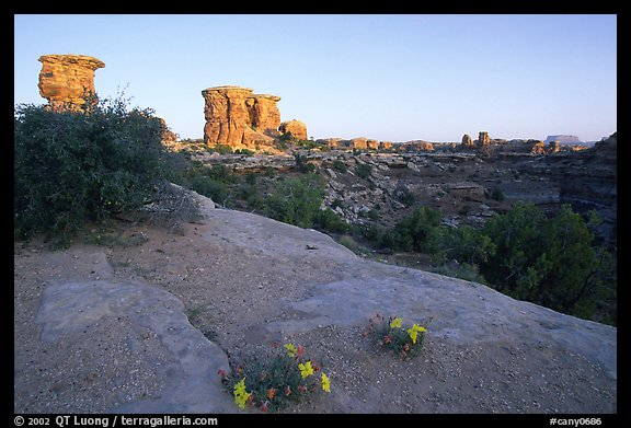 Wildflowers and towers, Big Spring Canyon overlook, sunrise, the Needles. Canyonlands National Park (color)