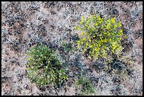 Close-up of wildflowers and cryptobiotic soil. Canyonlands National Park, Utah, USA. (color)