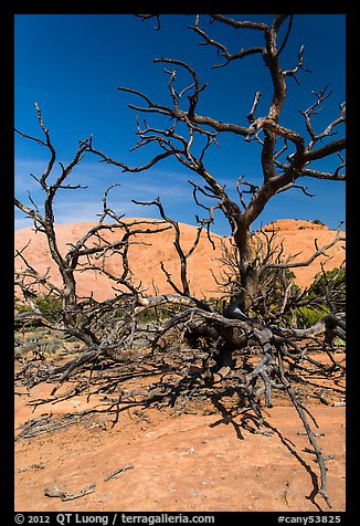 Tree skeletons and Whale Rock. Canyonlands National Park (color)