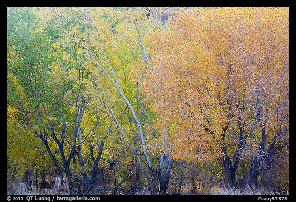 Cottonwood trees with various stage of fall foliage, Horseshoe Canyon. Canyonlands National Park (color)