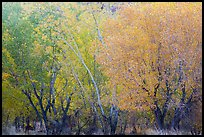 Cottonwood trees with various stage of fall foliage, Horseshoe Canyon. Canyonlands National Park, Utah, USA.