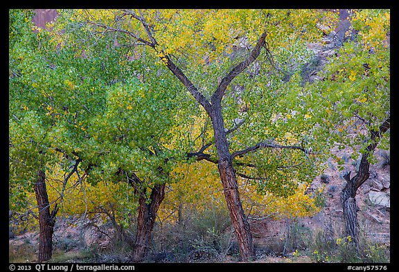 Grove Cottonwood trees in autumn, Horseshoe Canyon. Canyonlands National Park (color)