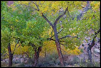 Grove Cottonwood trees in autumn, Horseshoe Canyon. Canyonlands National Park, Utah, USA.