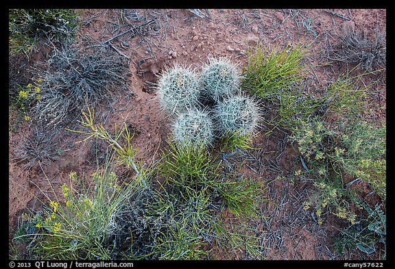 Ground close-up, cactus and wildflowers, Maze District. Canyonlands National Park (color)
