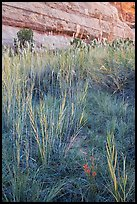 Paintbrush and tall grasses in canyon. Canyonlands National Park, Utah, USA. (color)