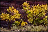 Cottonwood trees in autumn color in the Maze. Canyonlands National Park, Utah, USA. (color)