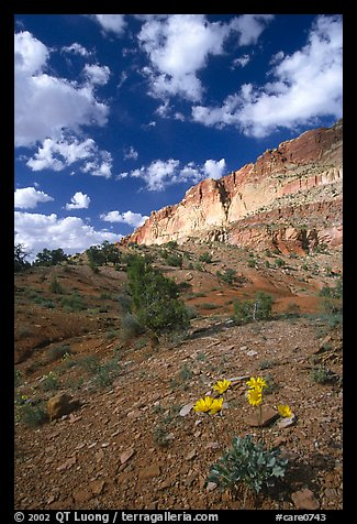 Wildflowers and Waterpocket Fold cliffs, afternoon. Capitol Reef National Park (color)