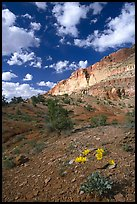 Wildflowers and Waterpocket Fold cliffs, afternoon. Capitol Reef National Park ( color)