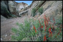 Wildflower in Wash in Capitol Gorge. Capitol Reef National Park ( color)