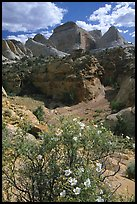 Wildflowers above Capitol Gorge. Capitol Reef National Park ( color)