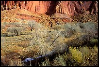 Sandstone cliffs and desert cottonwoods in winter. Capitol Reef National Park, Utah, USA.